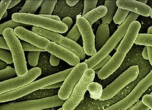Symbiose entre vos bactéries intestinales et vous-mêmes !