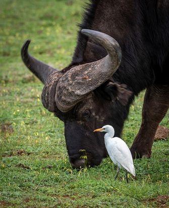 Cet oiseau débarasse le buffle des parasites cutanés grâce à leur relation de symbiose