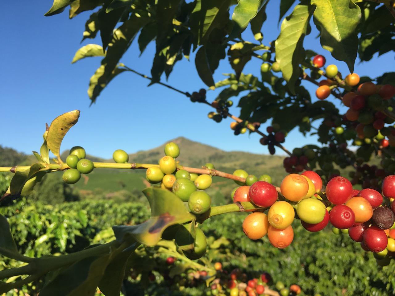 La caféine produite par le caféier fait partie des grandes adaptations des végétaux