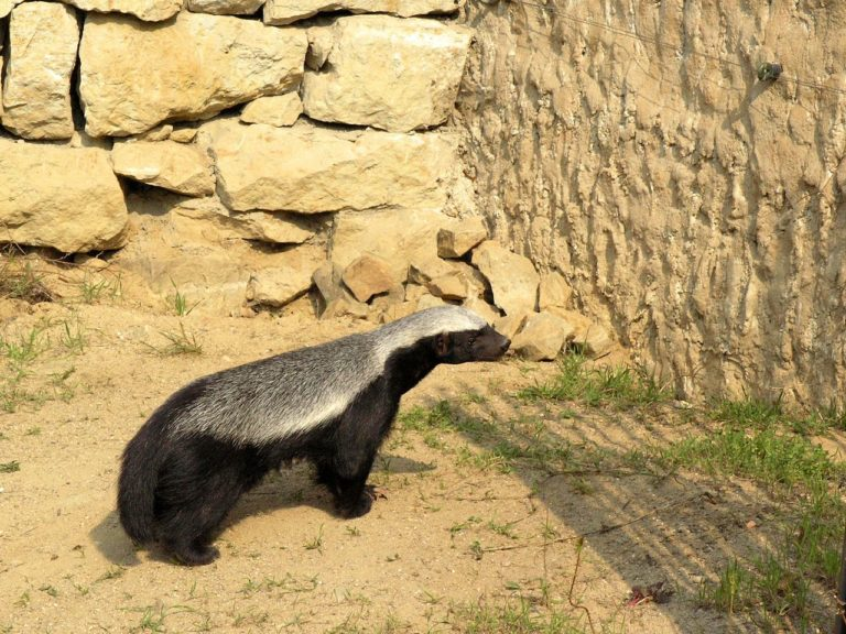 Connaissez-vous le Ratel, l'Animal le Plus Féroce de la Savane?